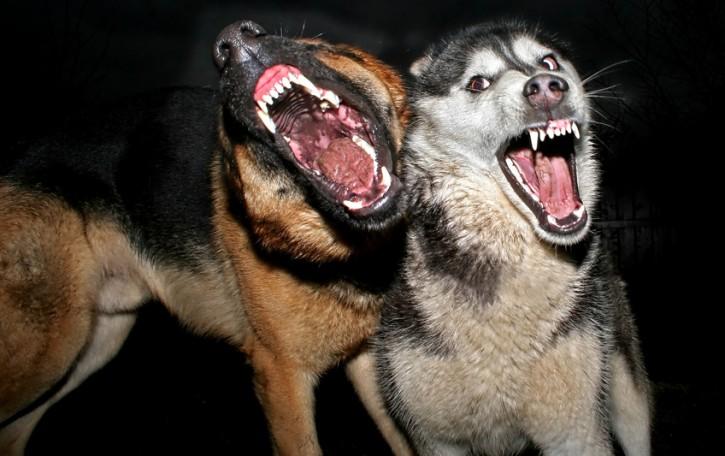 cani aggressivo